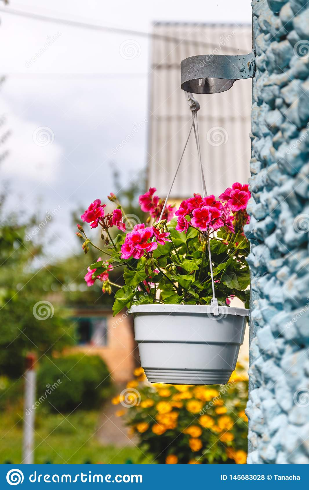 Decor outside the house, pink geraniums in a hanging flowerpot on the wall of the house