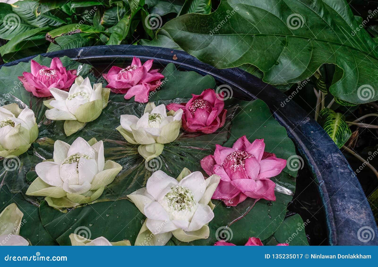 Decoração branca e cor-de-rosa da flor de lótus