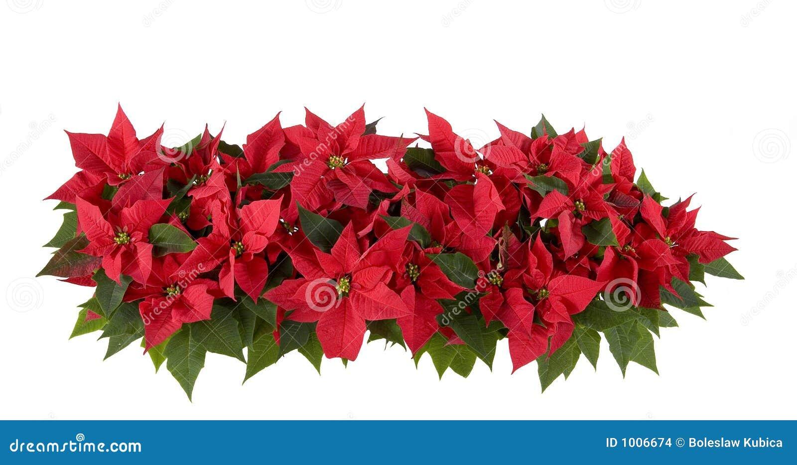 Decoraciones de la Navidad - Poinsettia rojo