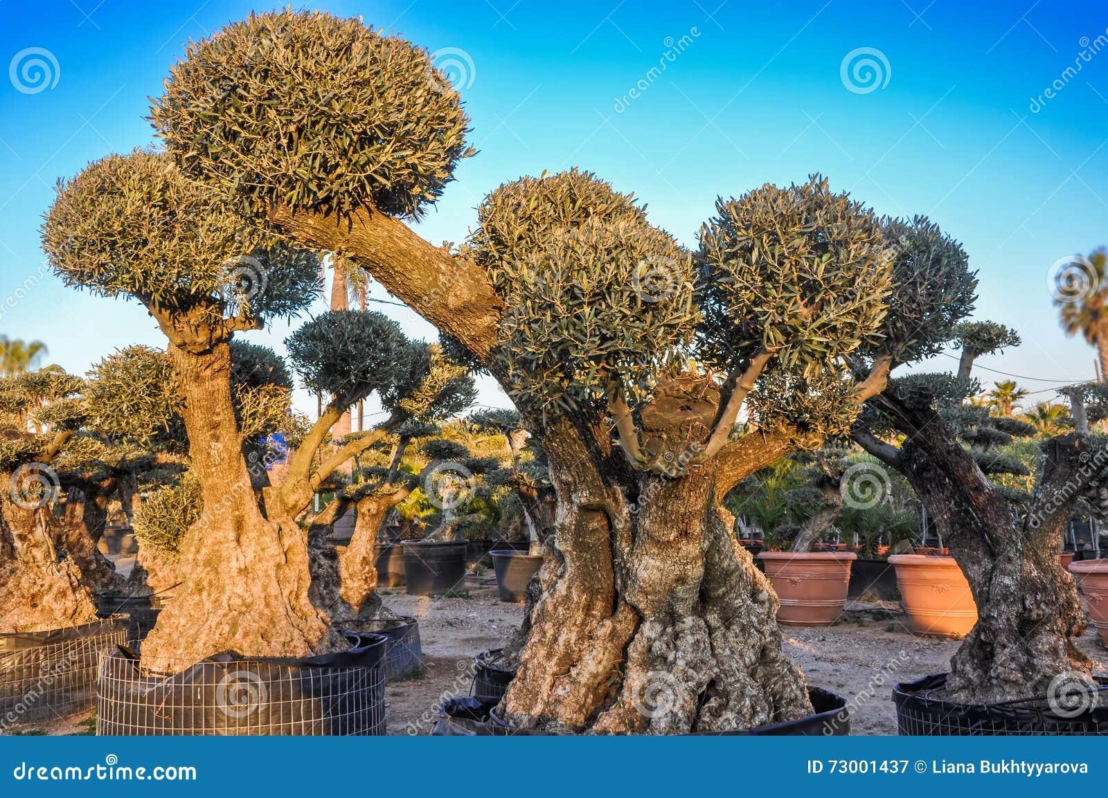Decoratieve olijfbomen met bolvormige die kronen voor verkoop worden aangeboden