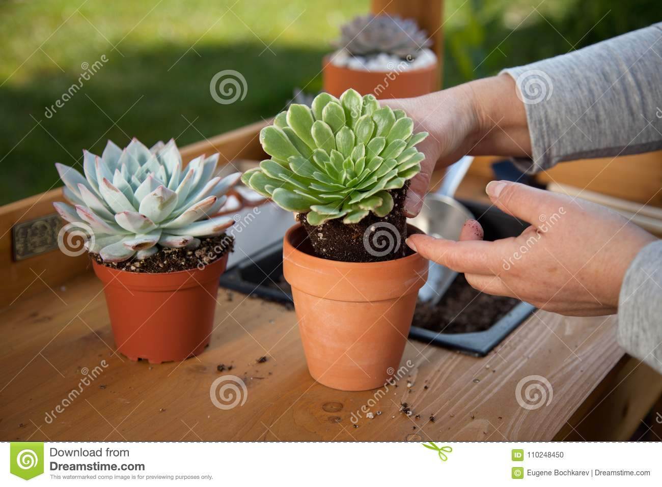 Decorating Succulent Pots stock photo. Image of perennial ...