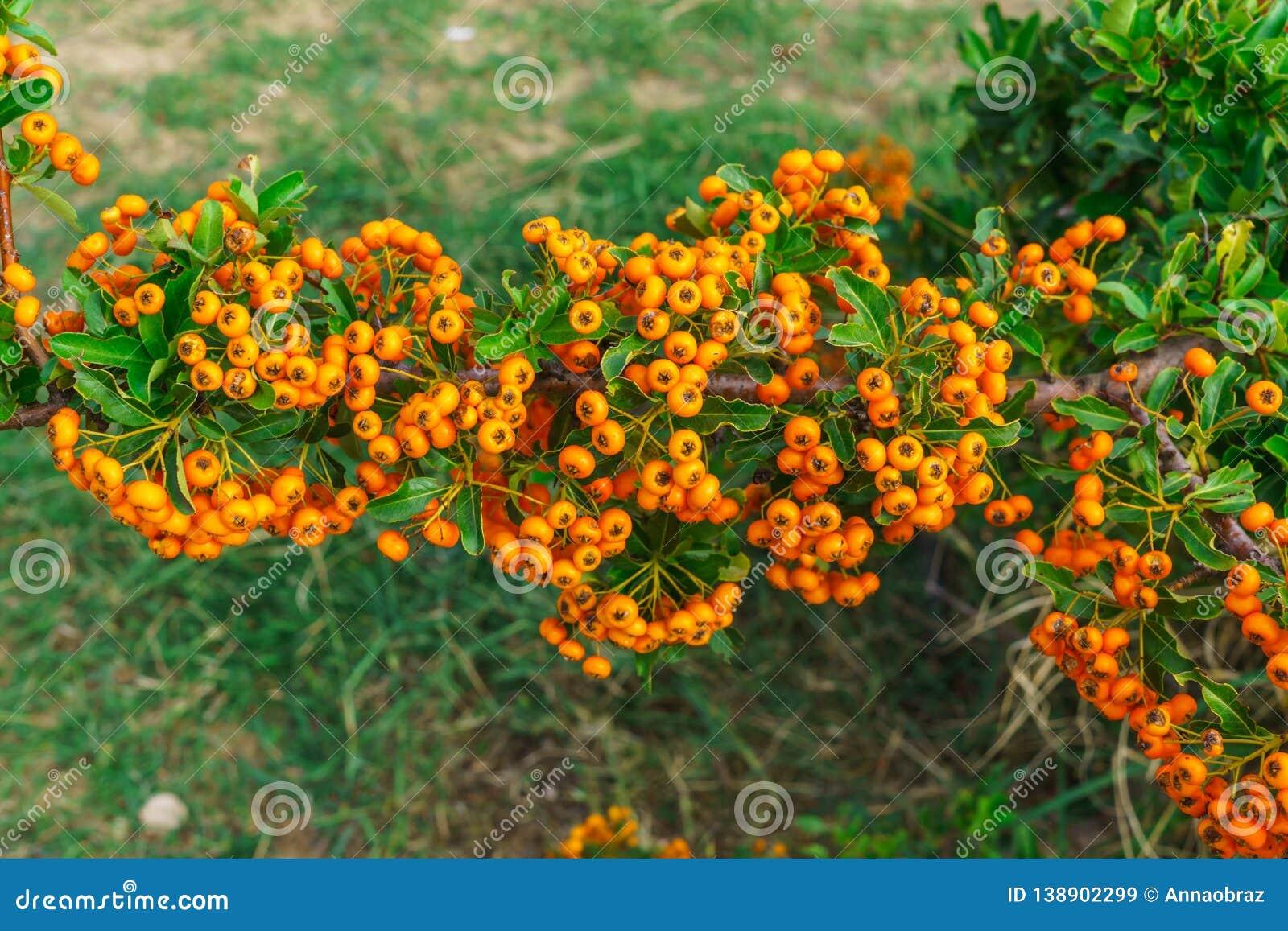 Decorative Bush With Orange Berries Pirakanta In The Park Stock