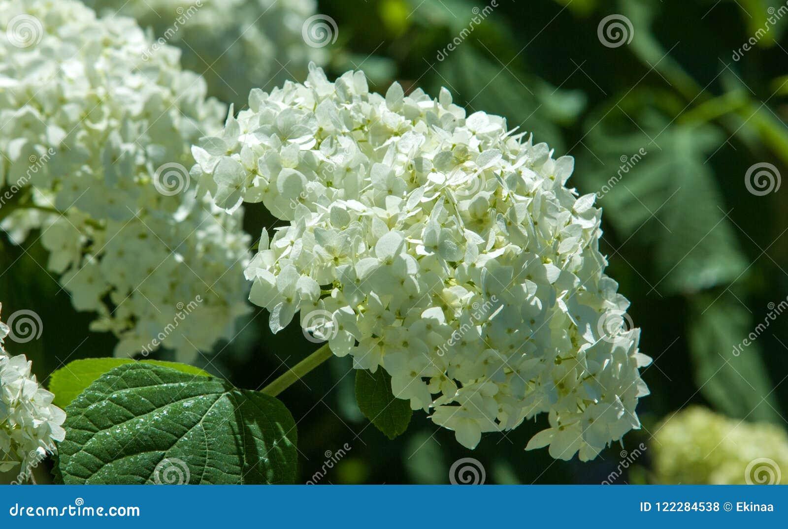 Decorative Bush Viburnum Or Buldonezh Stock Photo Image Of Black