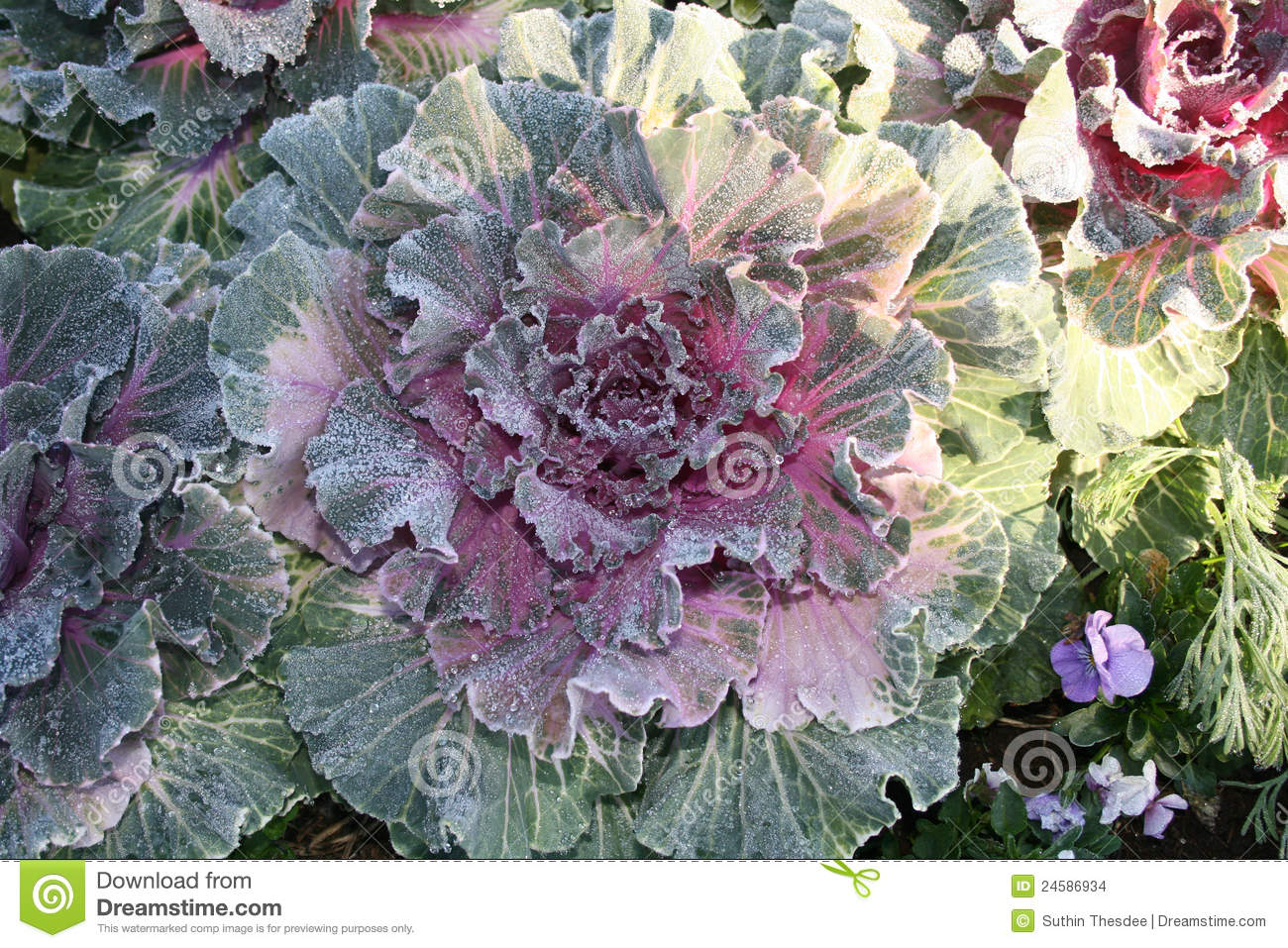 Decorative Cabbage And Drops Of Ice Stock Images Image