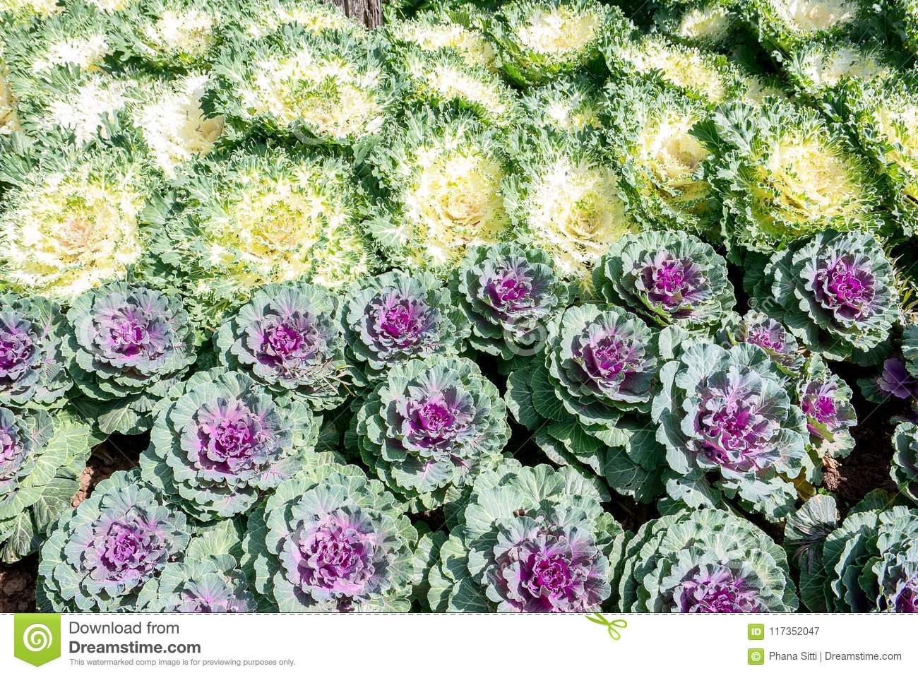 Decorative Cabbage Or Kale Curly Decorative Cabbage Stock Image