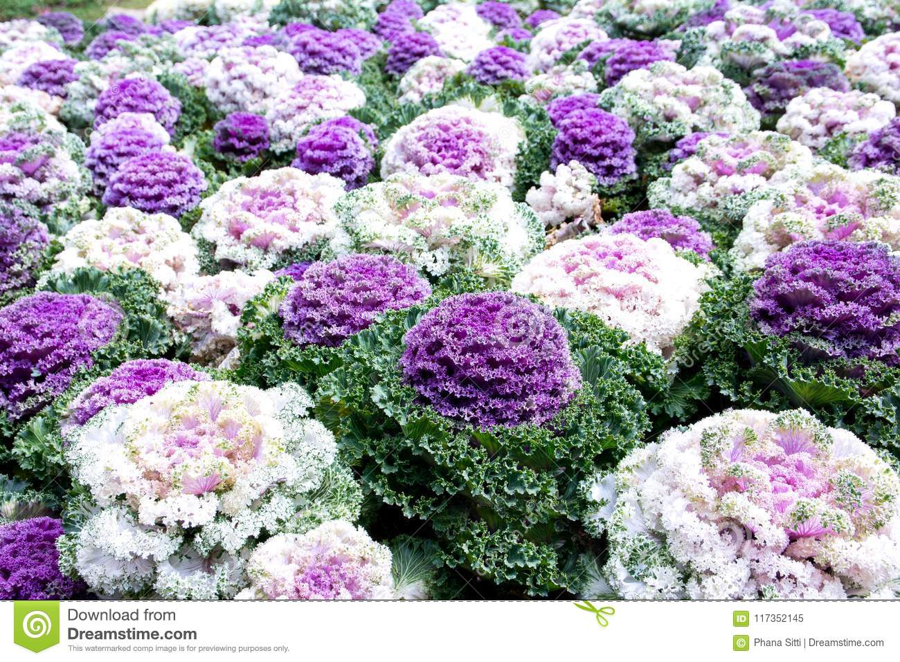 Decorative Cabbage Or Kale Decorative Cabbage Stock Image Image