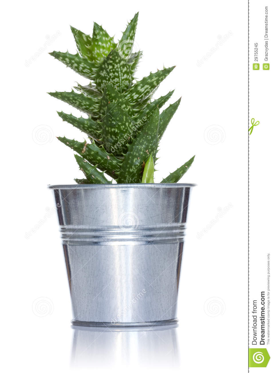 cactus in a metal pot stock image  image of spike  growing