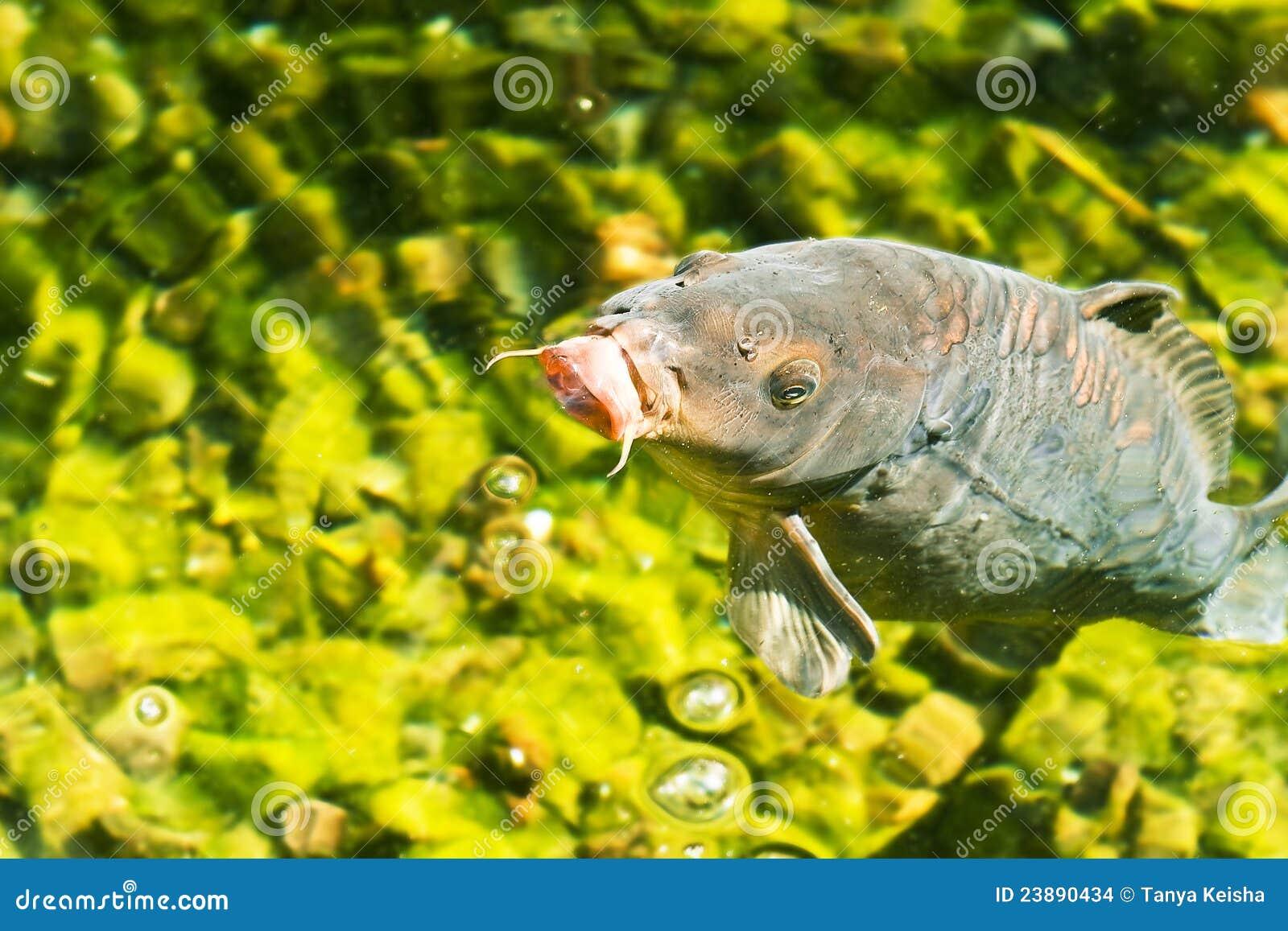 Decorative carp in emerald water stock images image for Decorative carp