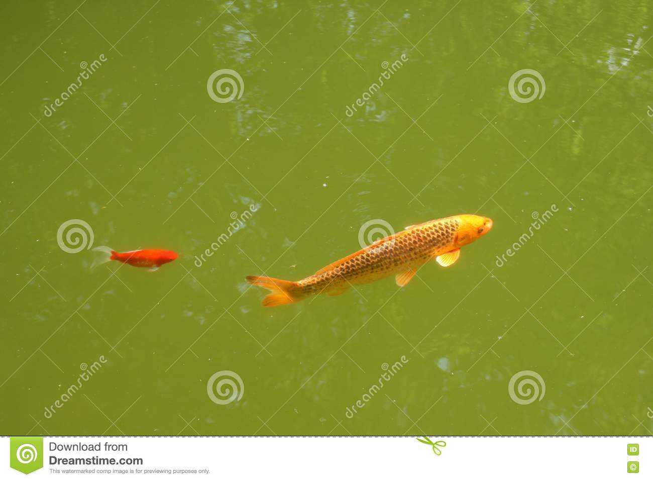 Decorative carp or koi stock photos image 19793653 - Decoratie kooi ...