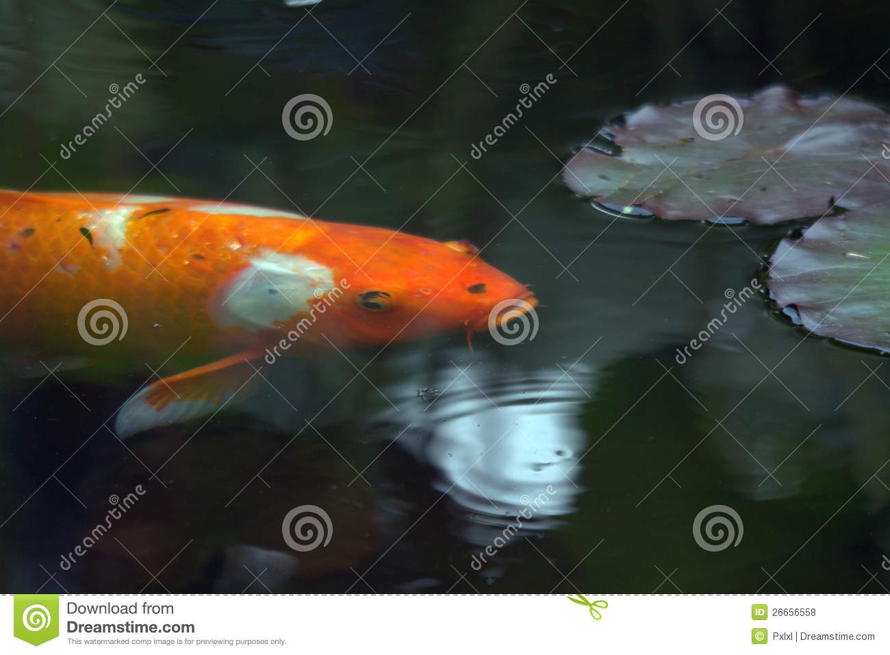 Decorative carp or koi royalty free stock photos image 26656558 - Decoratie kooi ...