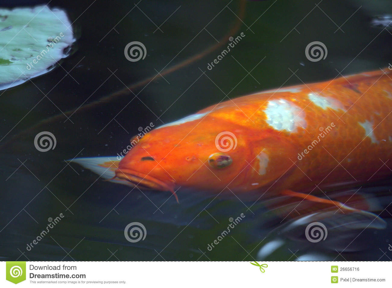 Decorative carp or koi royalty free stock image image 26656716 - Decoratie kooi ...