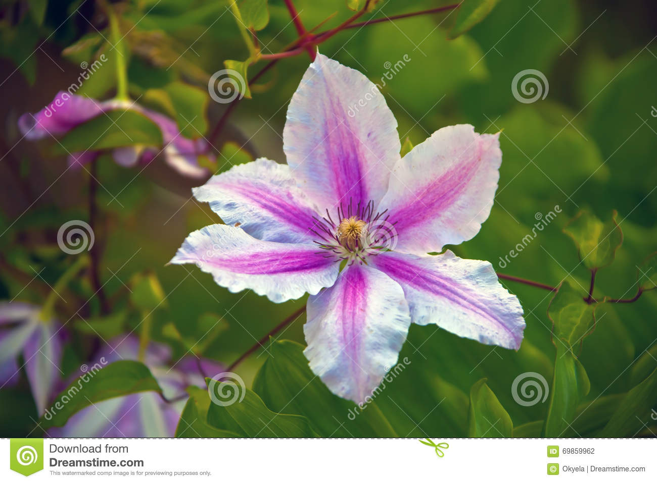 Decorative Flowering Vine Clematis Stock Photo Image Of