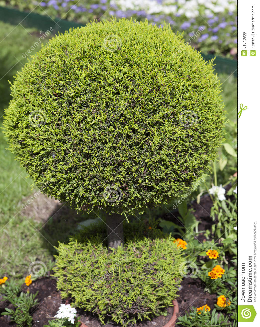 Decorative Green Shrub In Shape Of Ball Stock Photo Image 51543806