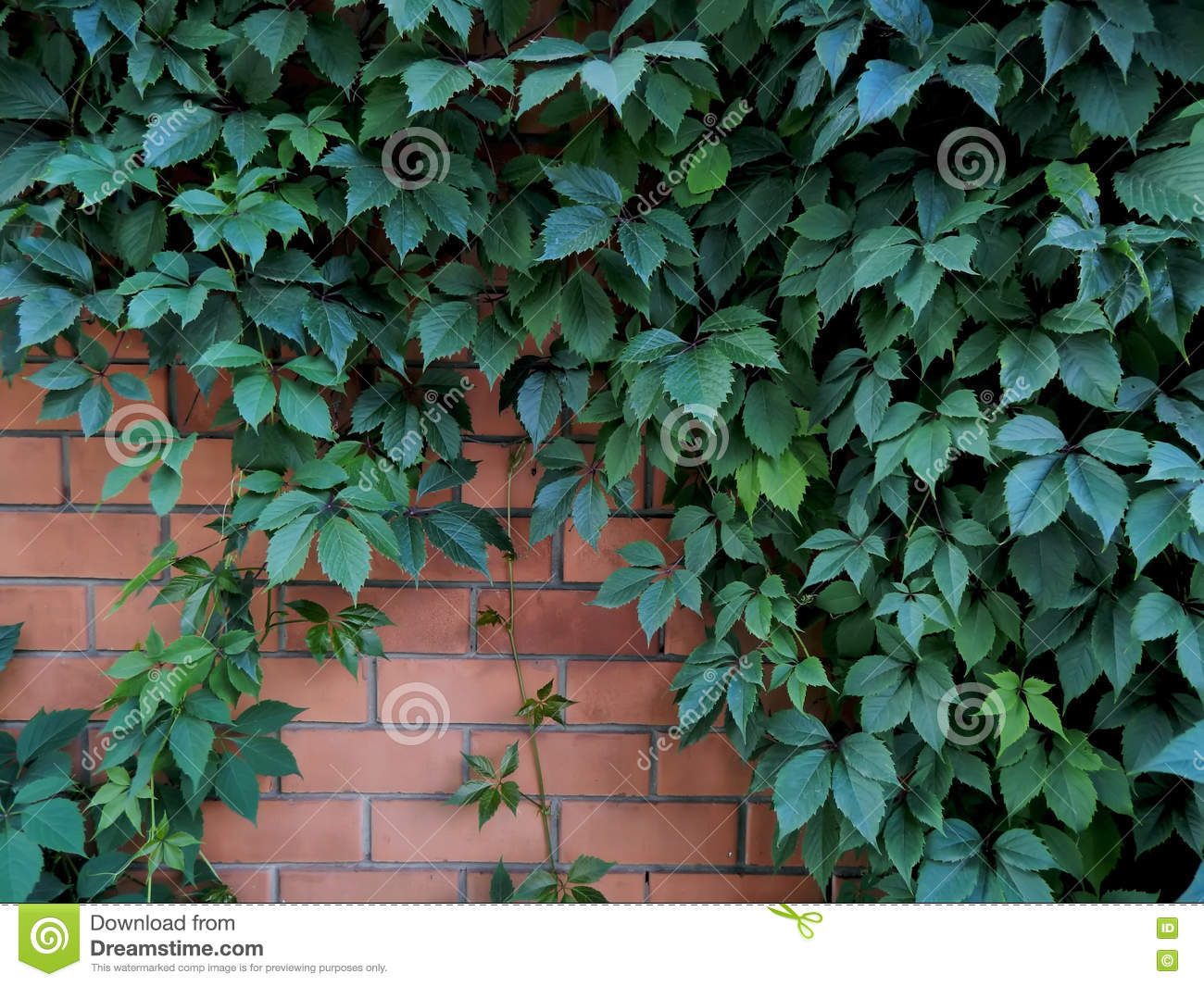 Decorative Hops Growing On A Brick Wall Garden Stock Image - Image ...