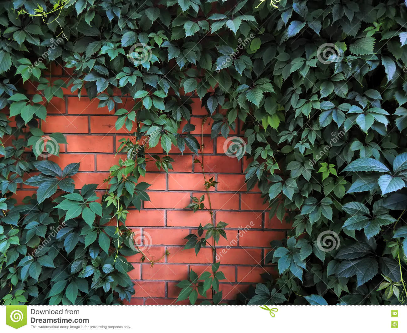 Decorative hops growing on a brick wall garden stock photo image royalty free stock photo download decorative hops growing on a brick wall garden amipublicfo Images