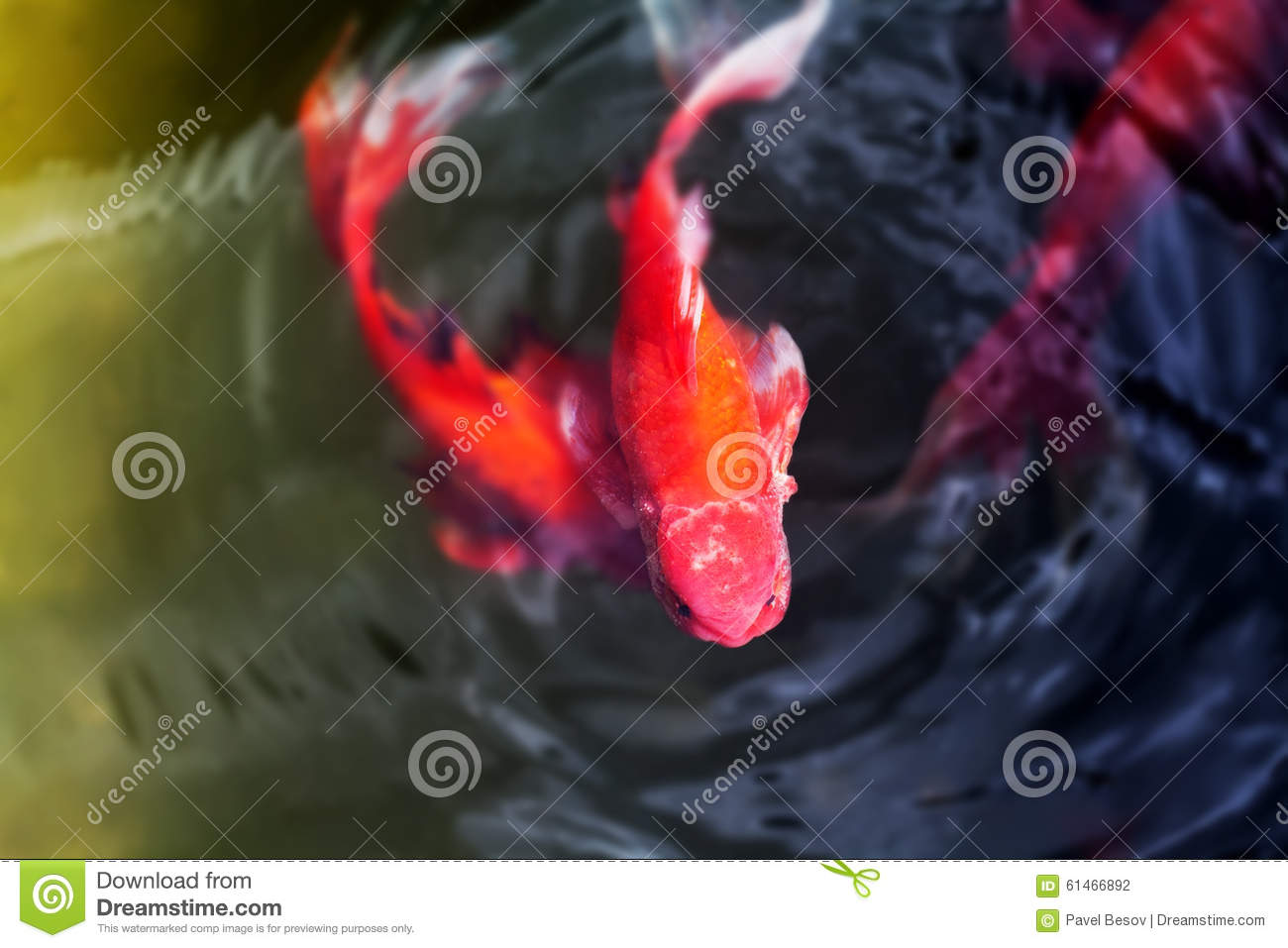 Decorative Koi Fish With Funny Face. Cyprinus Stock Photo - Image of ...