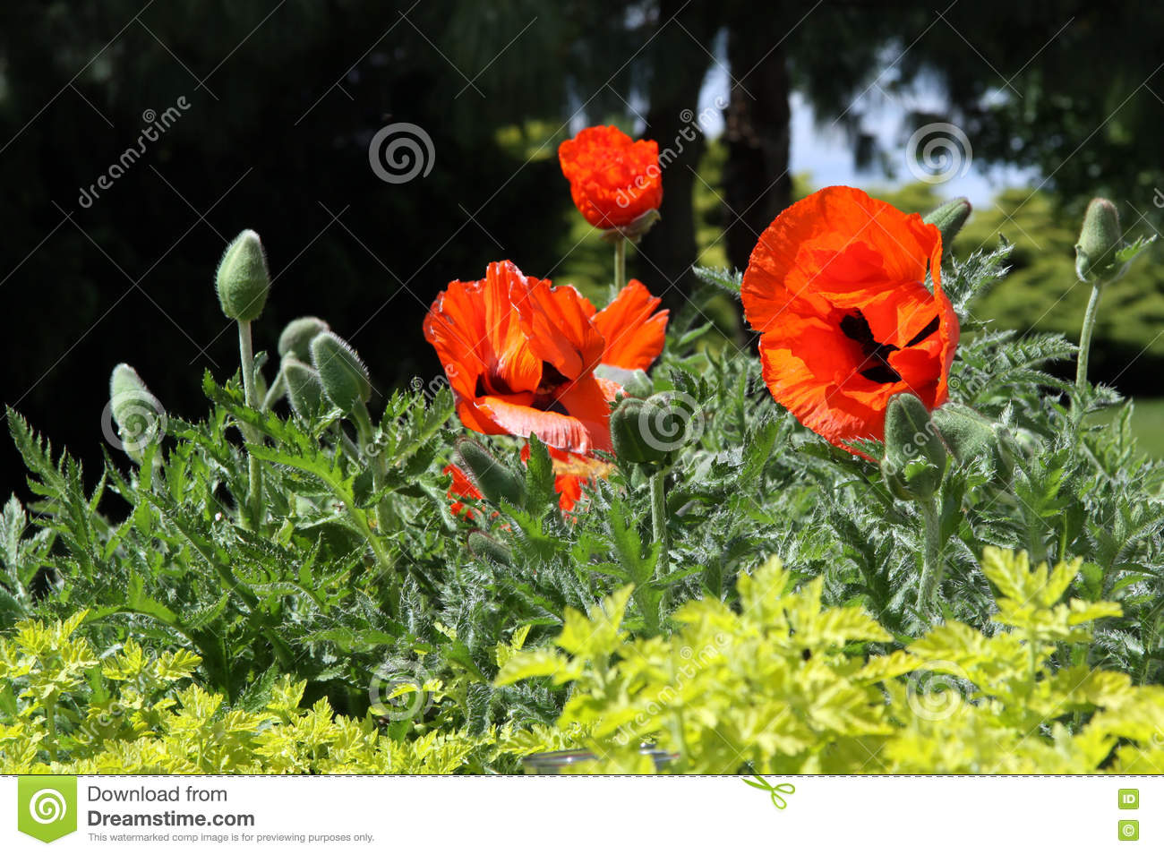 Decorative Opium Poppy With Red Flowers Stock Image Image Of