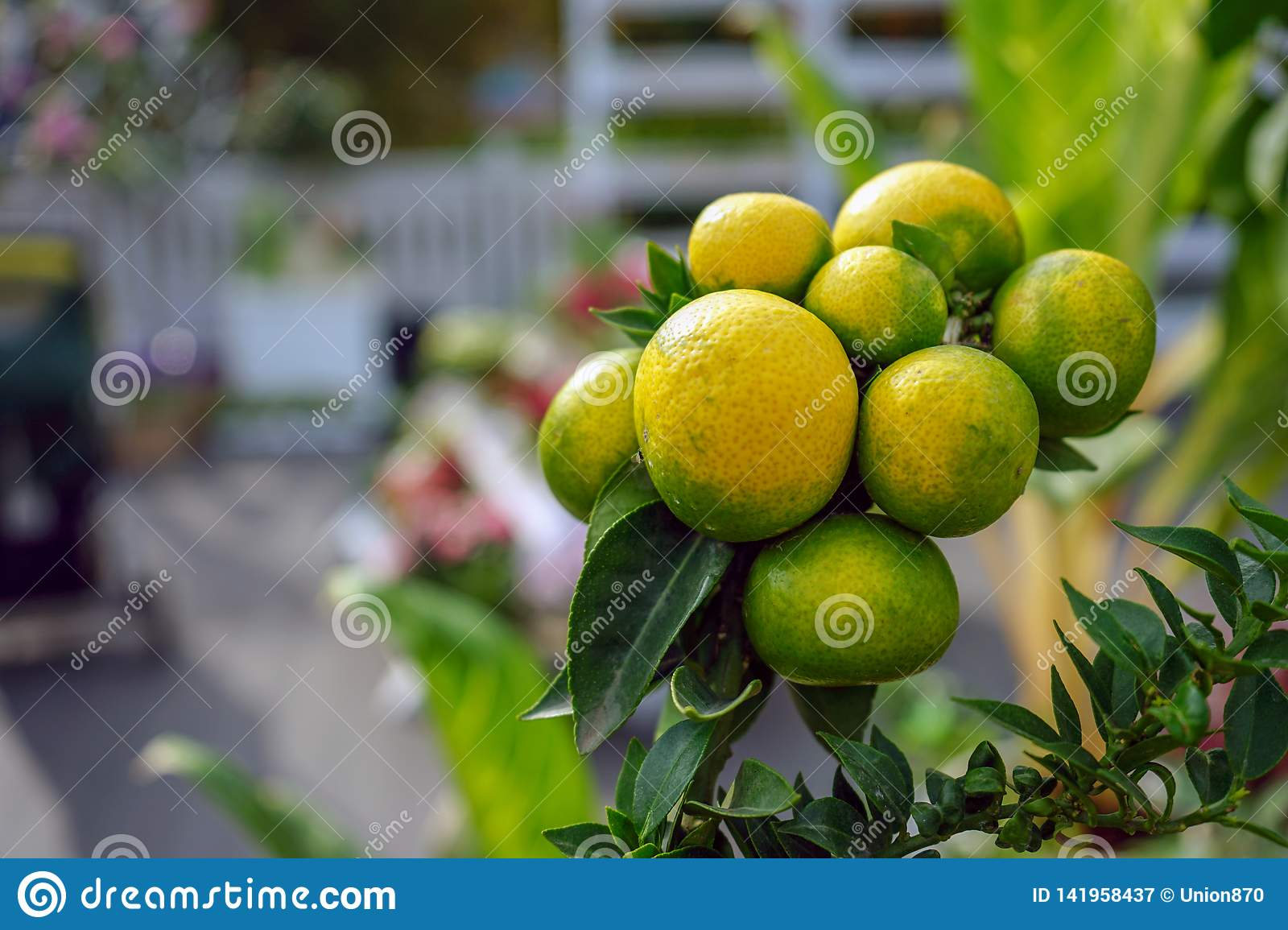 Decorative tangerines hang on a tree branch