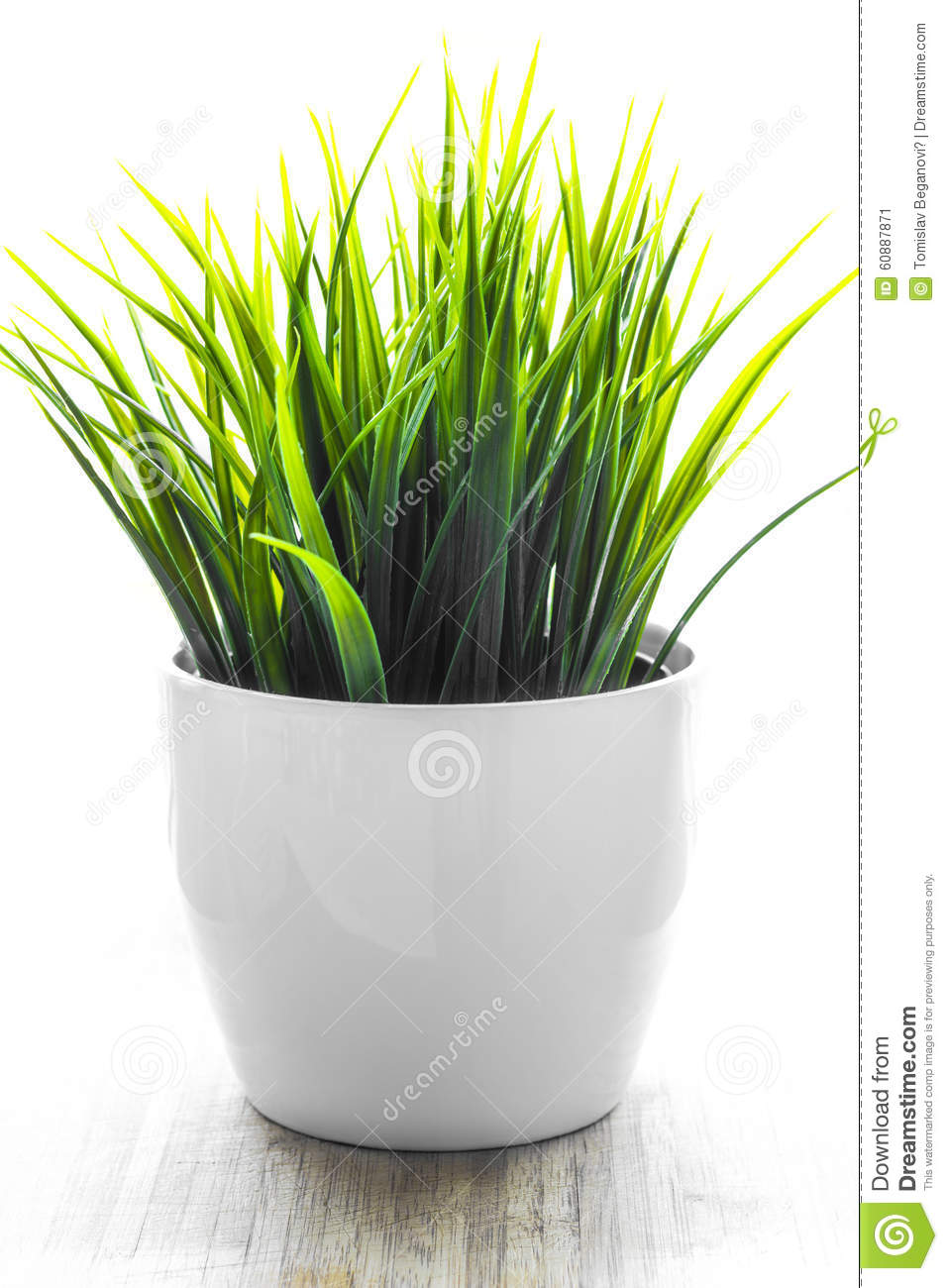 decorative wheatgrass plant in white flower pot stock photo