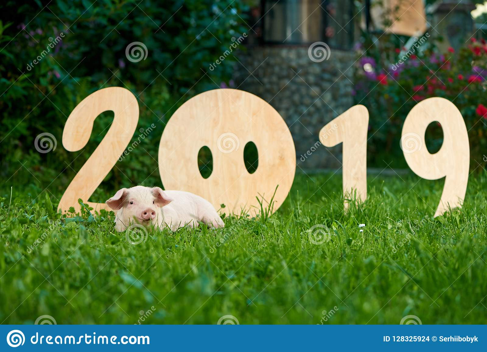 Decorative wooden numerals of new 2019 year against cute piggy on green grass.