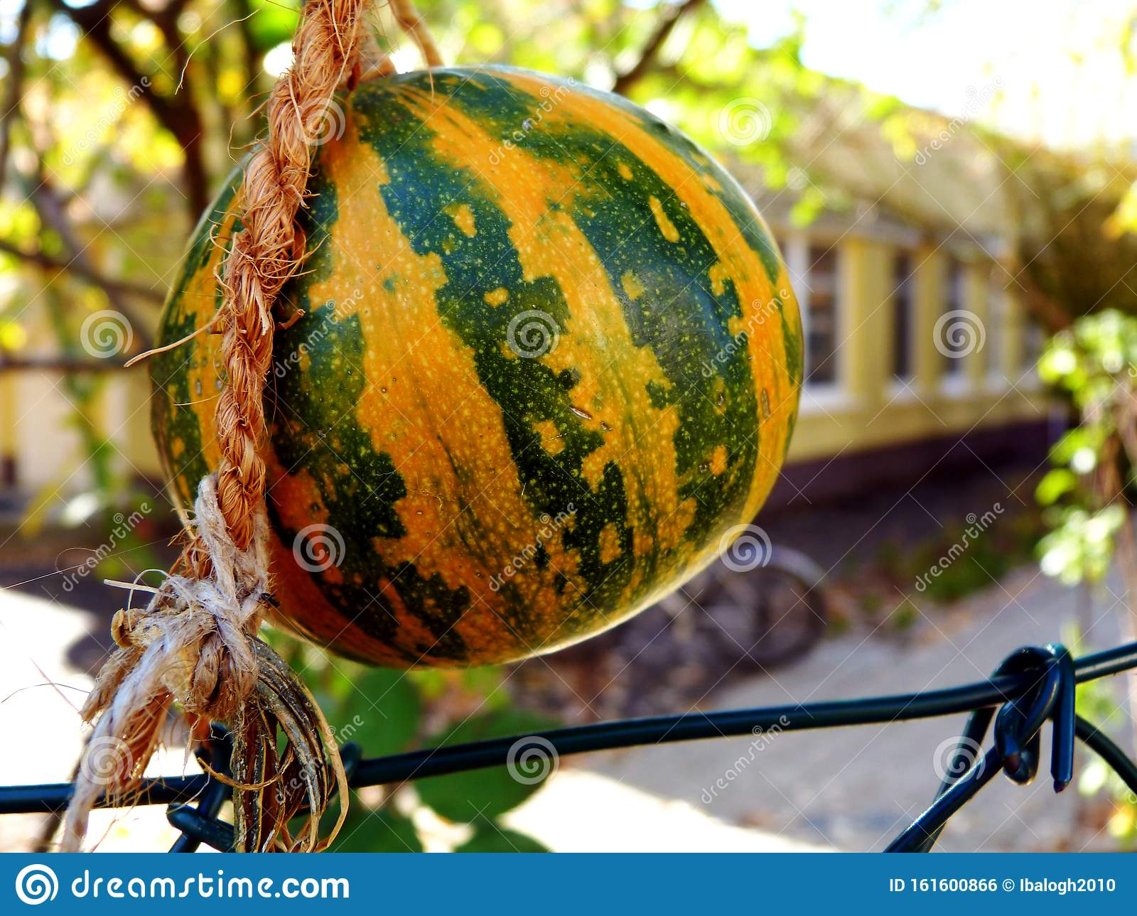 Picture of: Decorative Yellow Green Gourd In Exterior Space Along Chain Link Fence Stock Photo Image Of Jute Gourd 161600866