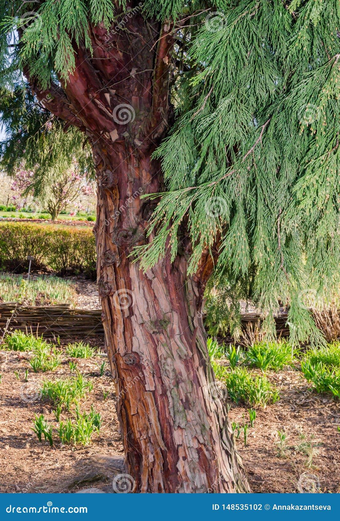 Decurrens TORREY FLORIN, Calocedrus, cedro del CALOCEDRUS di incenso Albero in botanica in Niemcza, Polonia