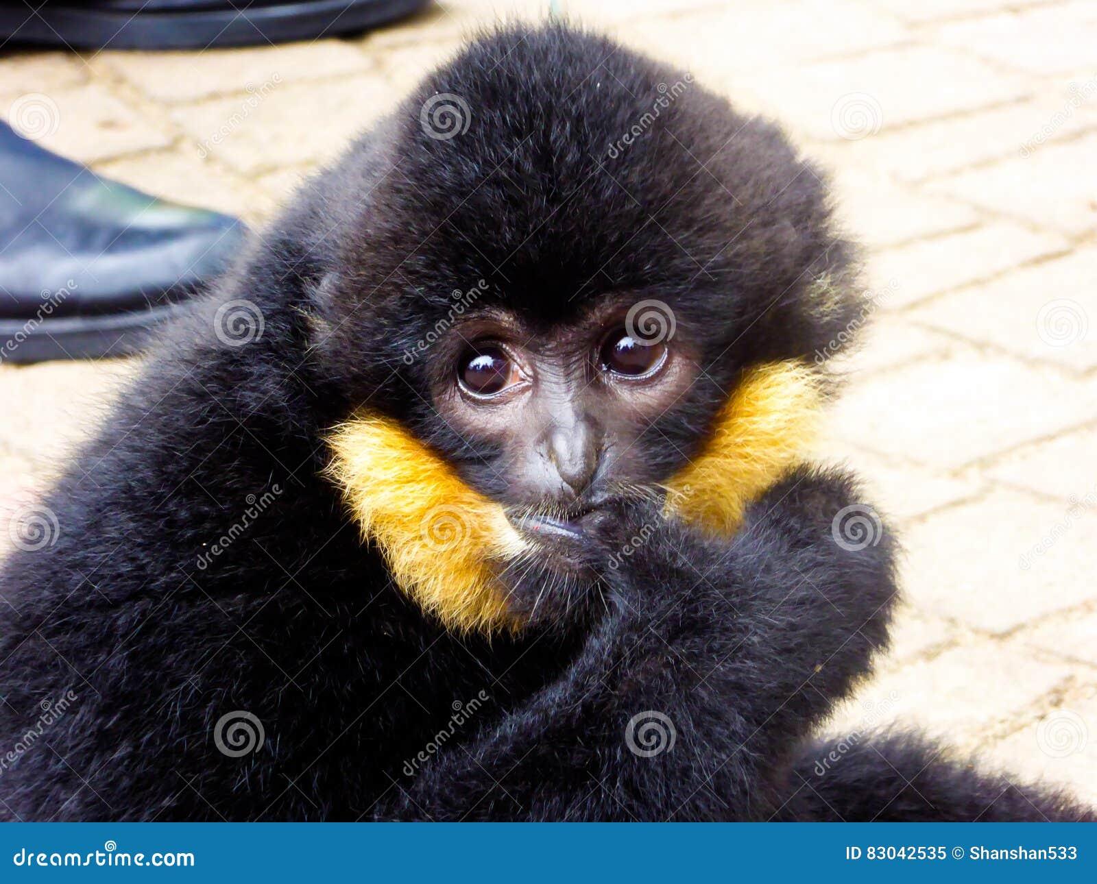 Dedo cortante com crista do Cao-vit Gibbon