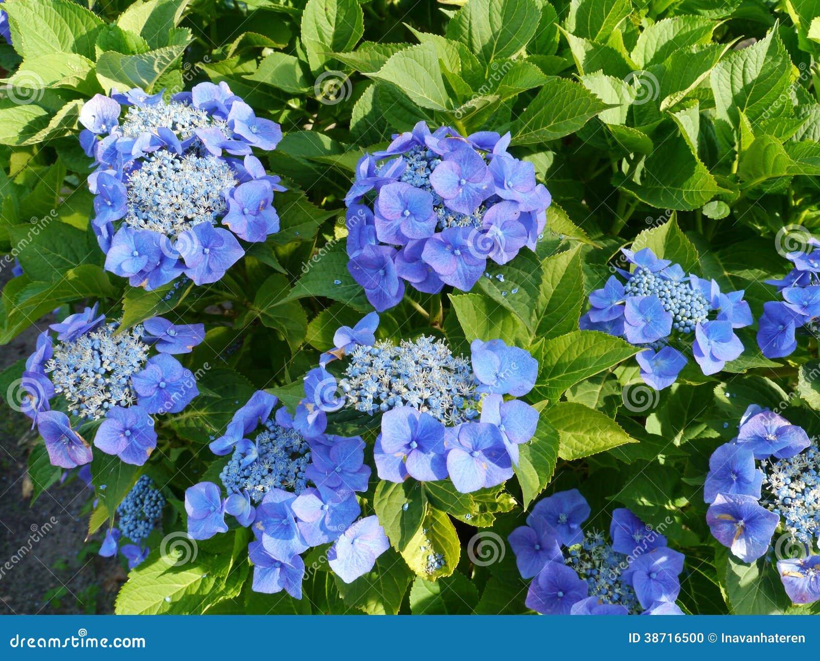 Deep Blue Flowering Hortensia Bush Stock Photo Image Of Flower