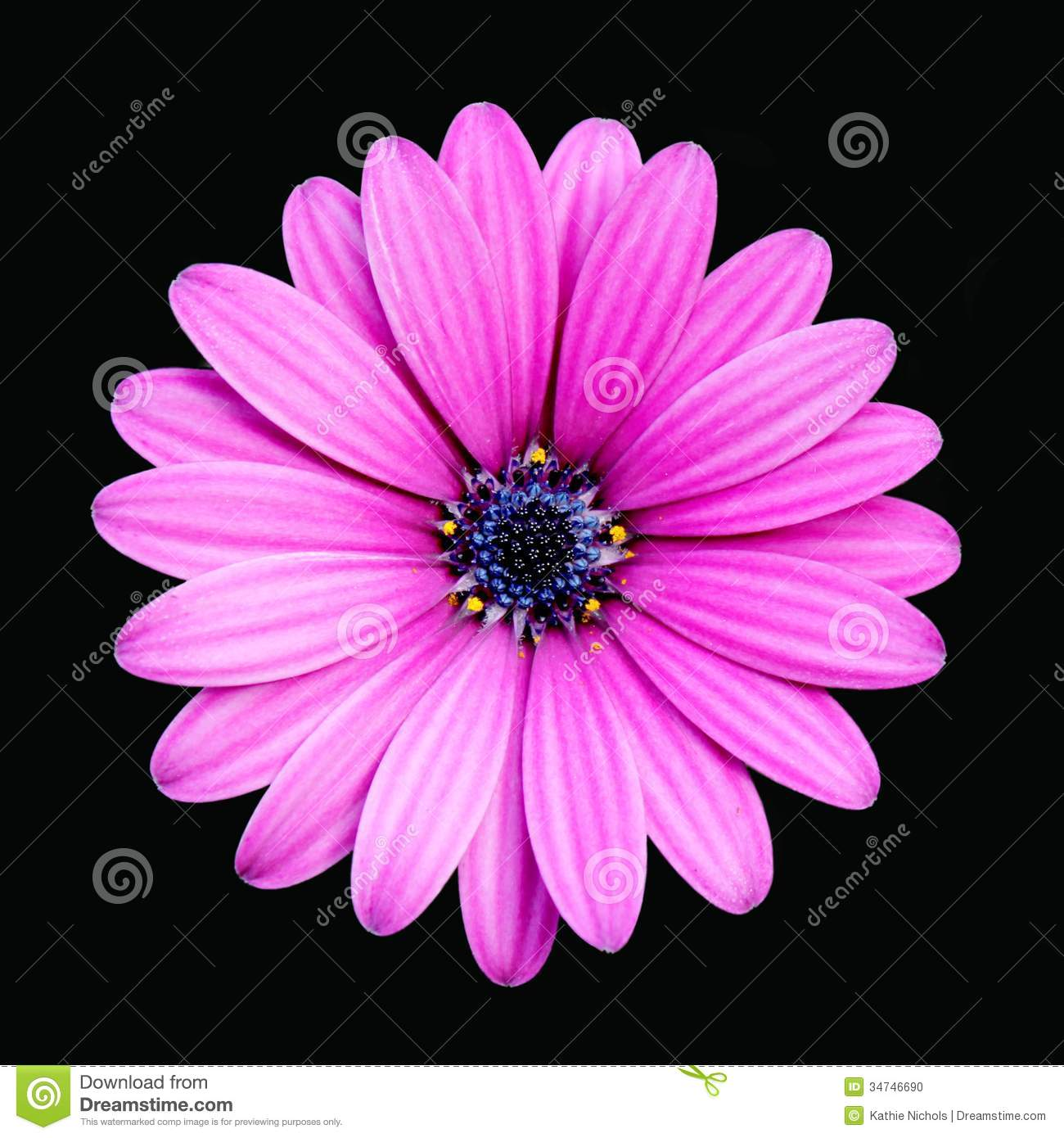 Deep pink daisy isolated stock photo image 34746690 - Deep pink wallpaper ...