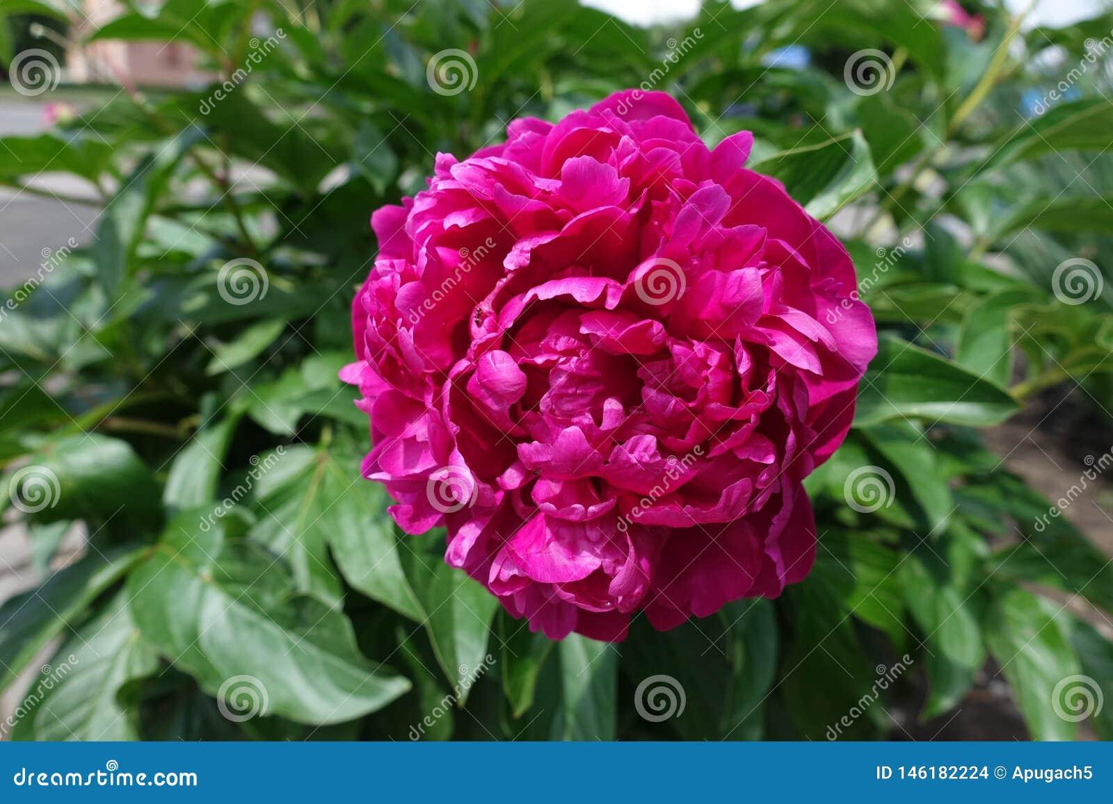 Deep pink flower of peony in spring
