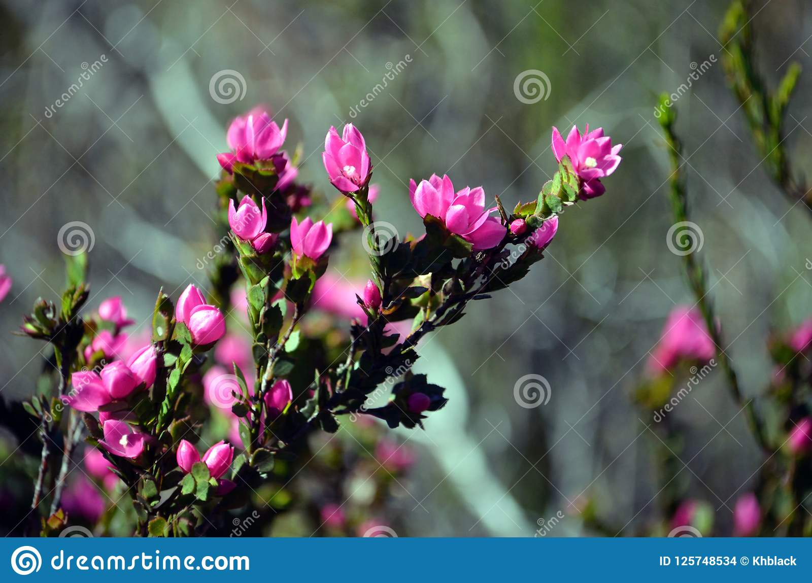 Deep pink flowers of the australian native rose stock photo image download deep pink flowers of the australian native rose stock photo image of flower mightylinksfo