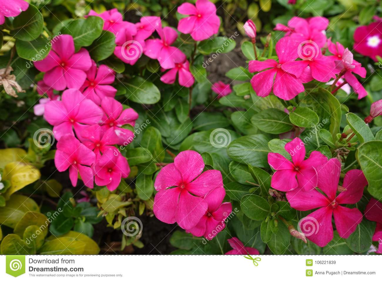 Deep pink flowers of madagascar periwinkle stock image image of download comp mightylinksfo
