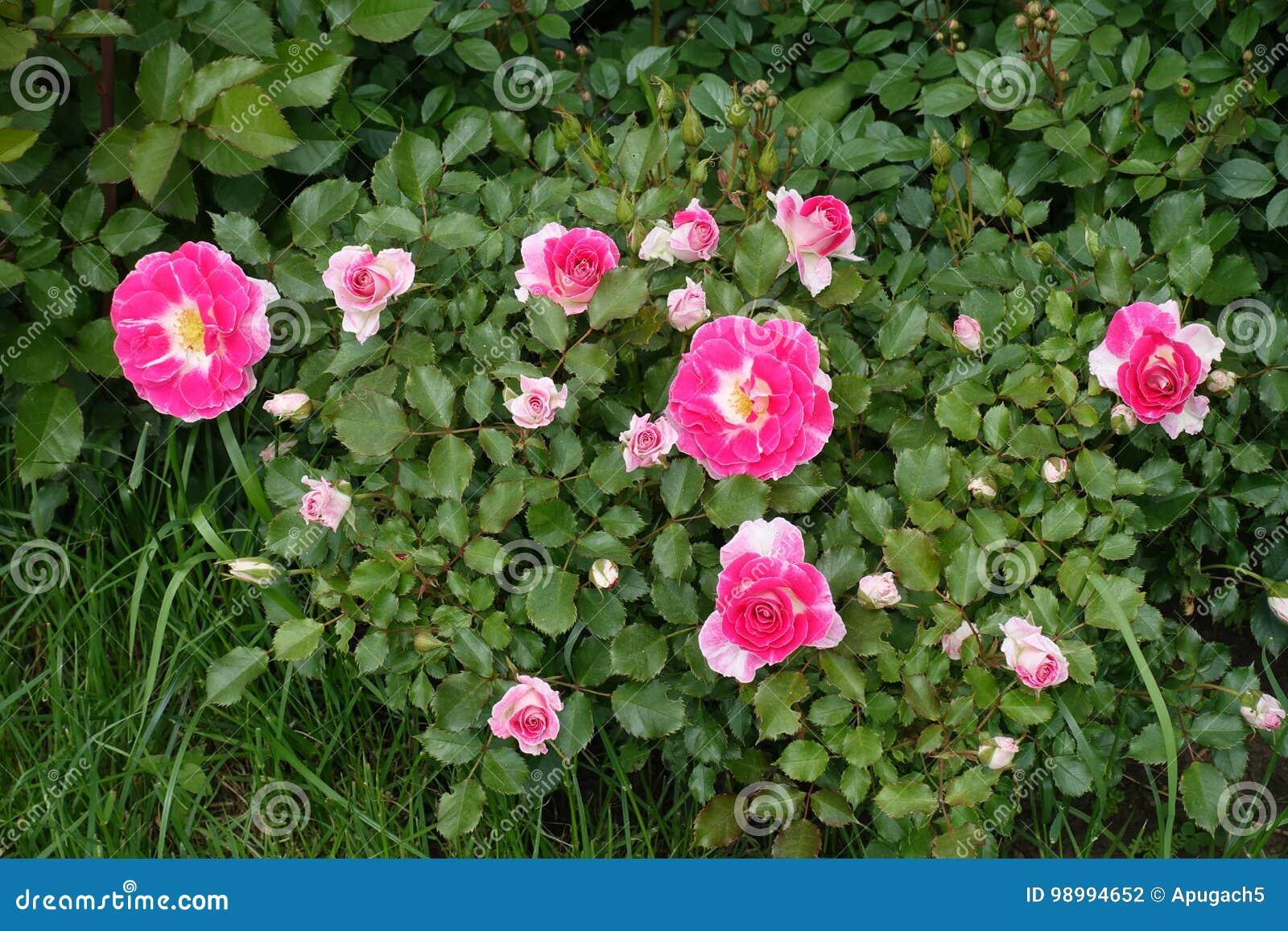 Deep pink flowers of rose in the garden stock photo image of download deep pink flowers of rose in the garden stock photo image of blossom mightylinksfo