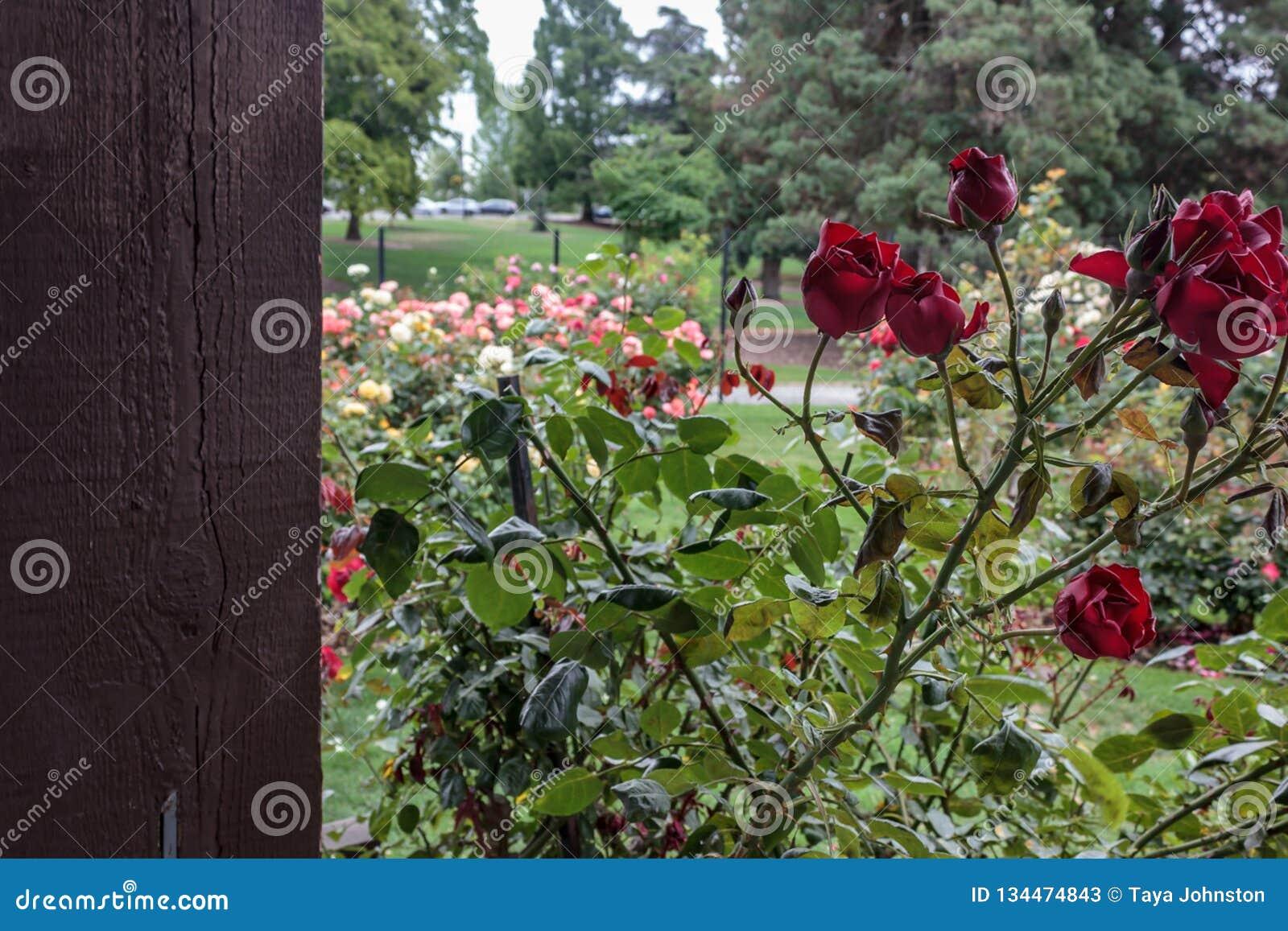 Deep red rosed near large rose garden. Deep red rosed near multiple colored rose gardenin summer stock photos