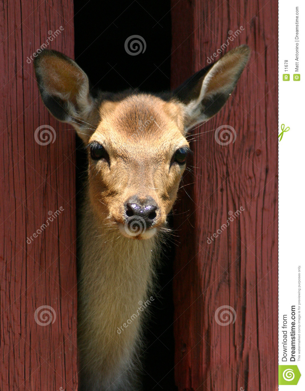 Download Deer stock photo. Image of stare, xmas, head, wildlife, female - 11678