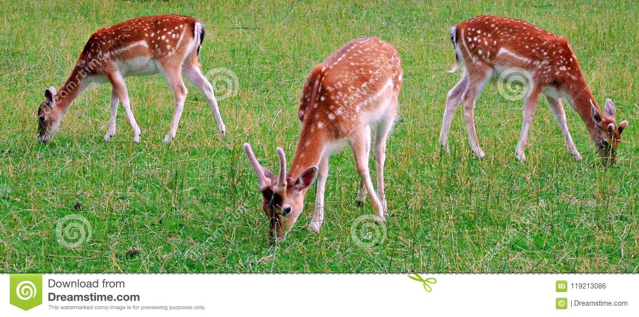deer, animal, wildlife, mammal, fawn, grass, wild, nature, fallow, doe, young, brown, green, antlers, stag, baby, animals,