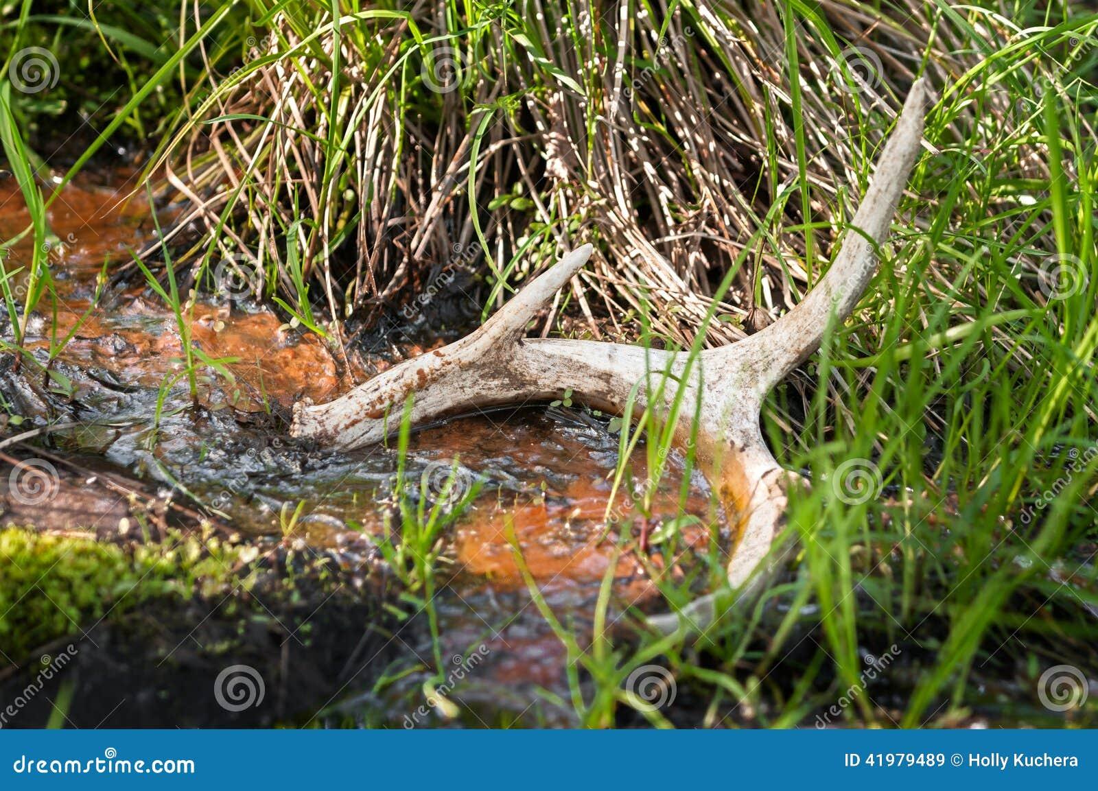 Deer Antler Shed in Pond