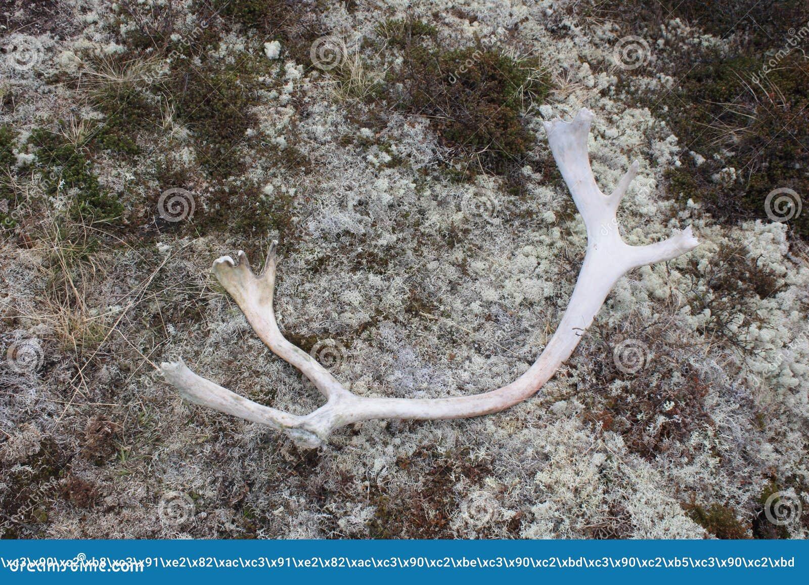 Deer antler to throw to moss.