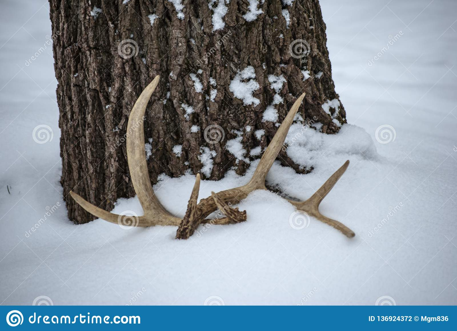 Deer antlers beneath a tree in the snow