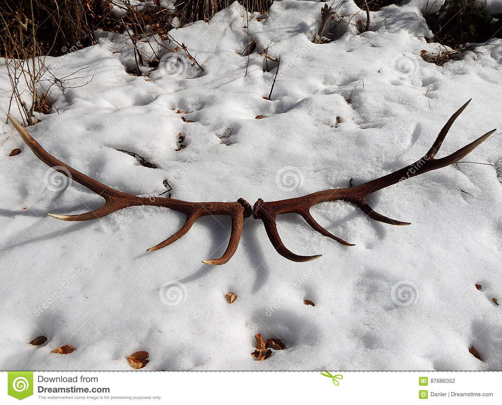Deer antlers in the snow