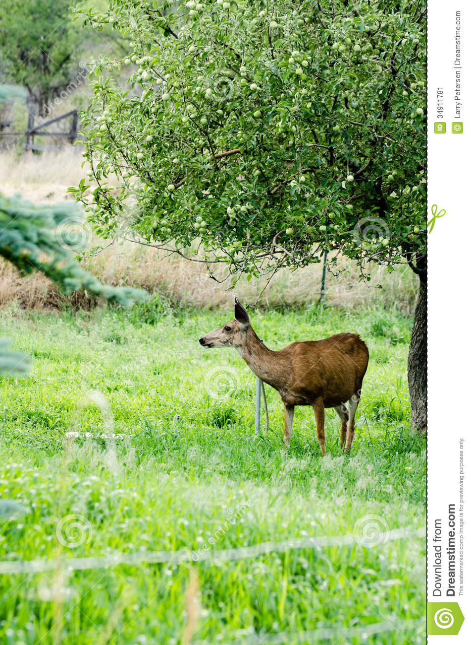 Deer By Apple Tree Stock Image Image Of Wildlife
