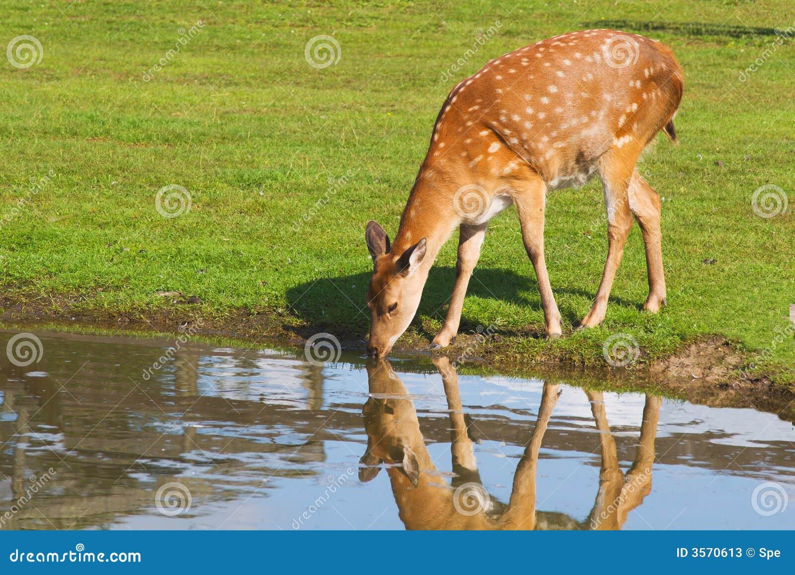 Clipart Of Deer Drinking Water