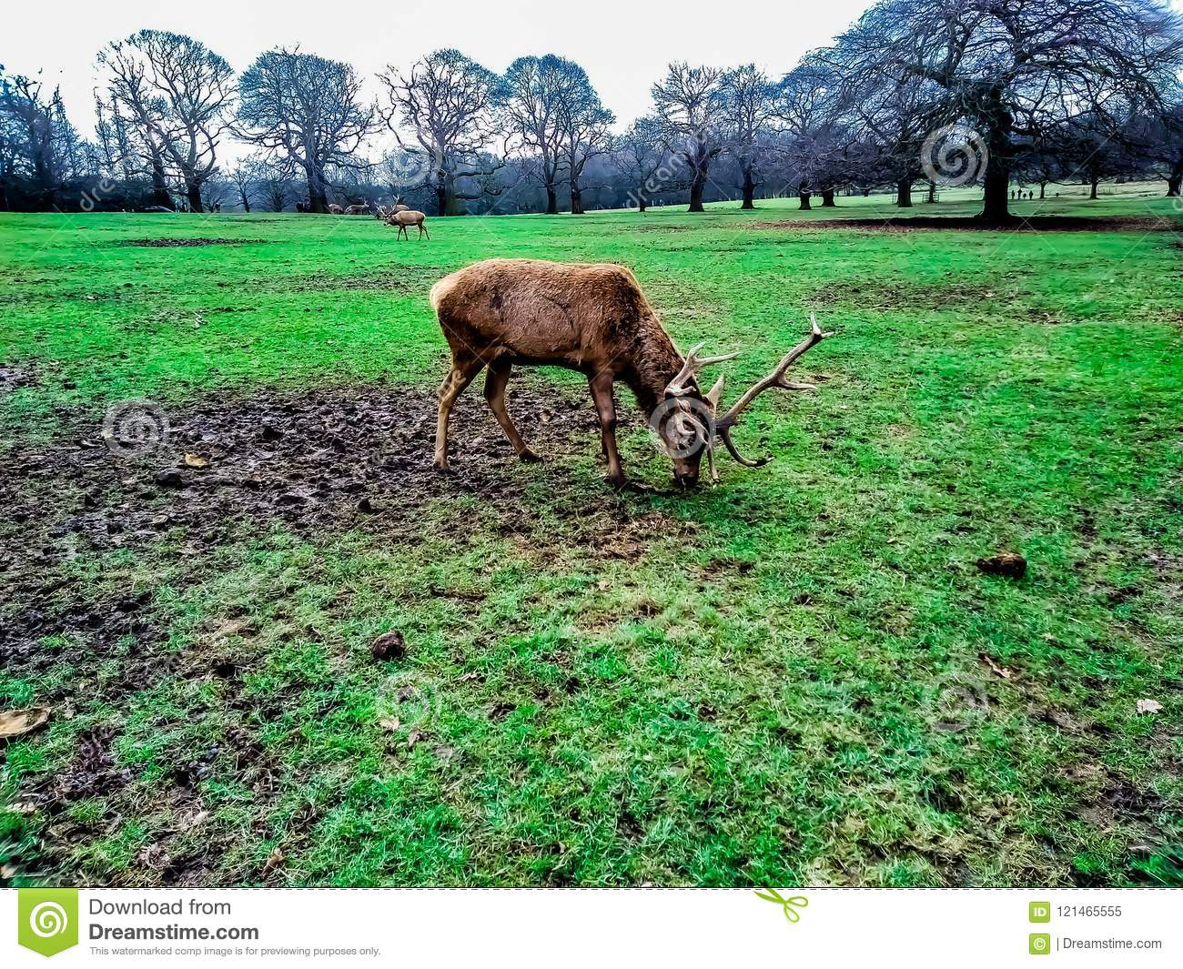 Deer eating grass in the Wollaton Hall Park in Nottingham, United Kingdom.