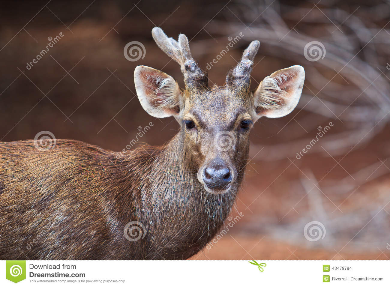 Female reindeer grows and shed new antlers each year.