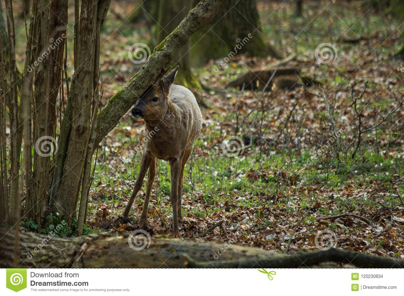 Roe deer in the forest.