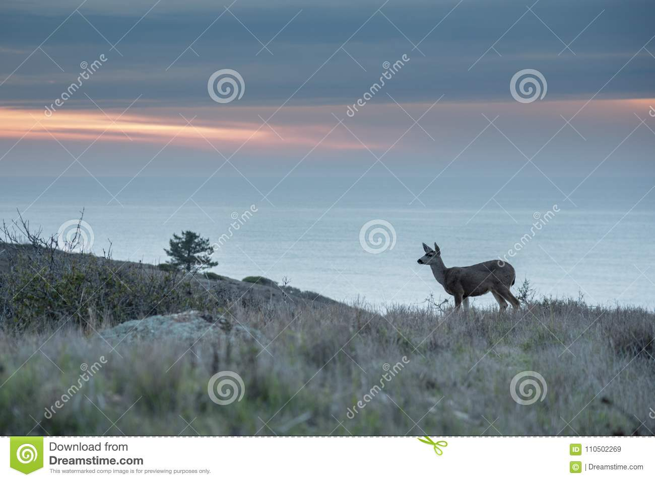 Deer grazing at sunset with ocean in background
