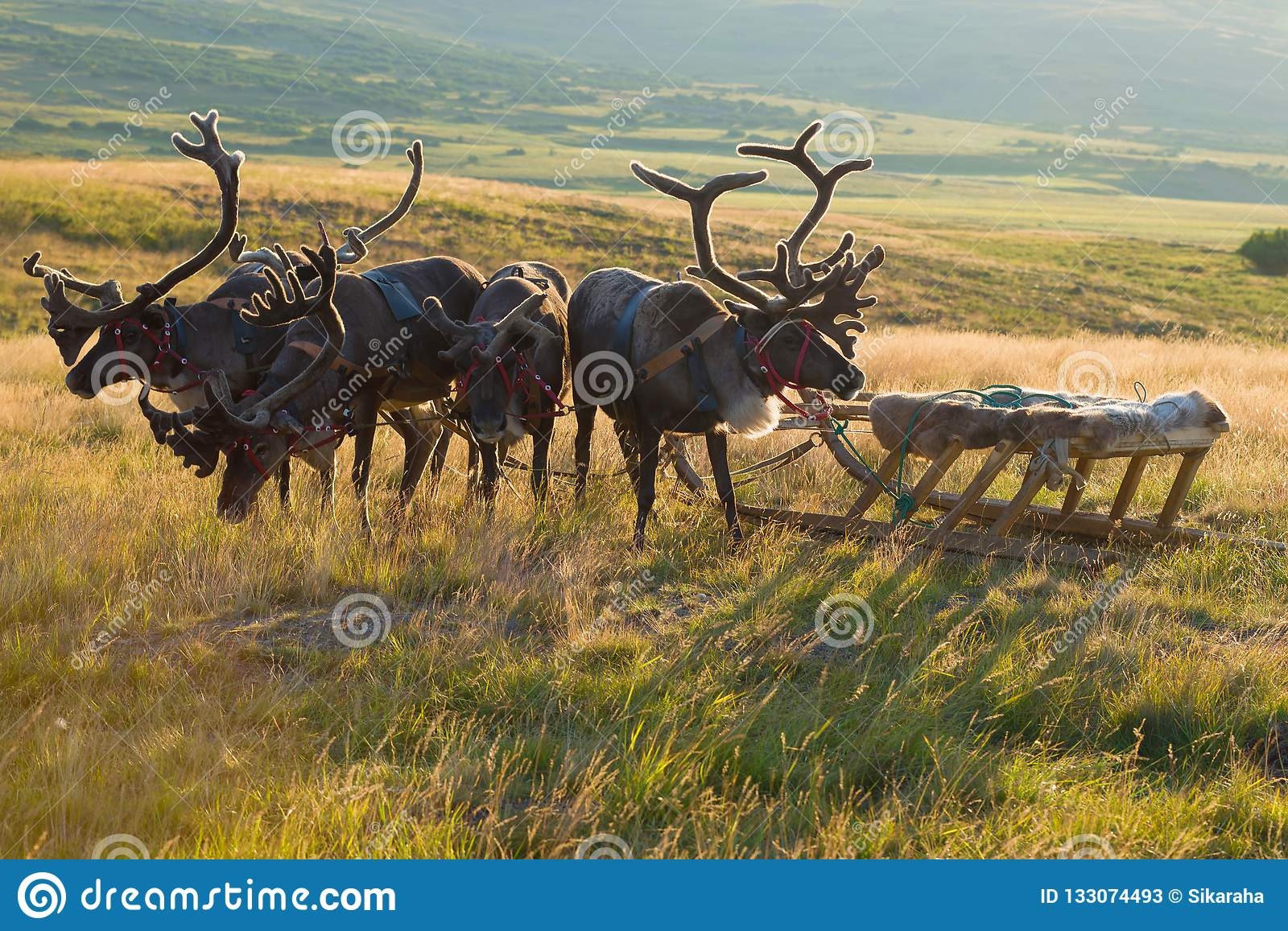 Deer harness with sledges close up, summer evening. Yamal, Russia