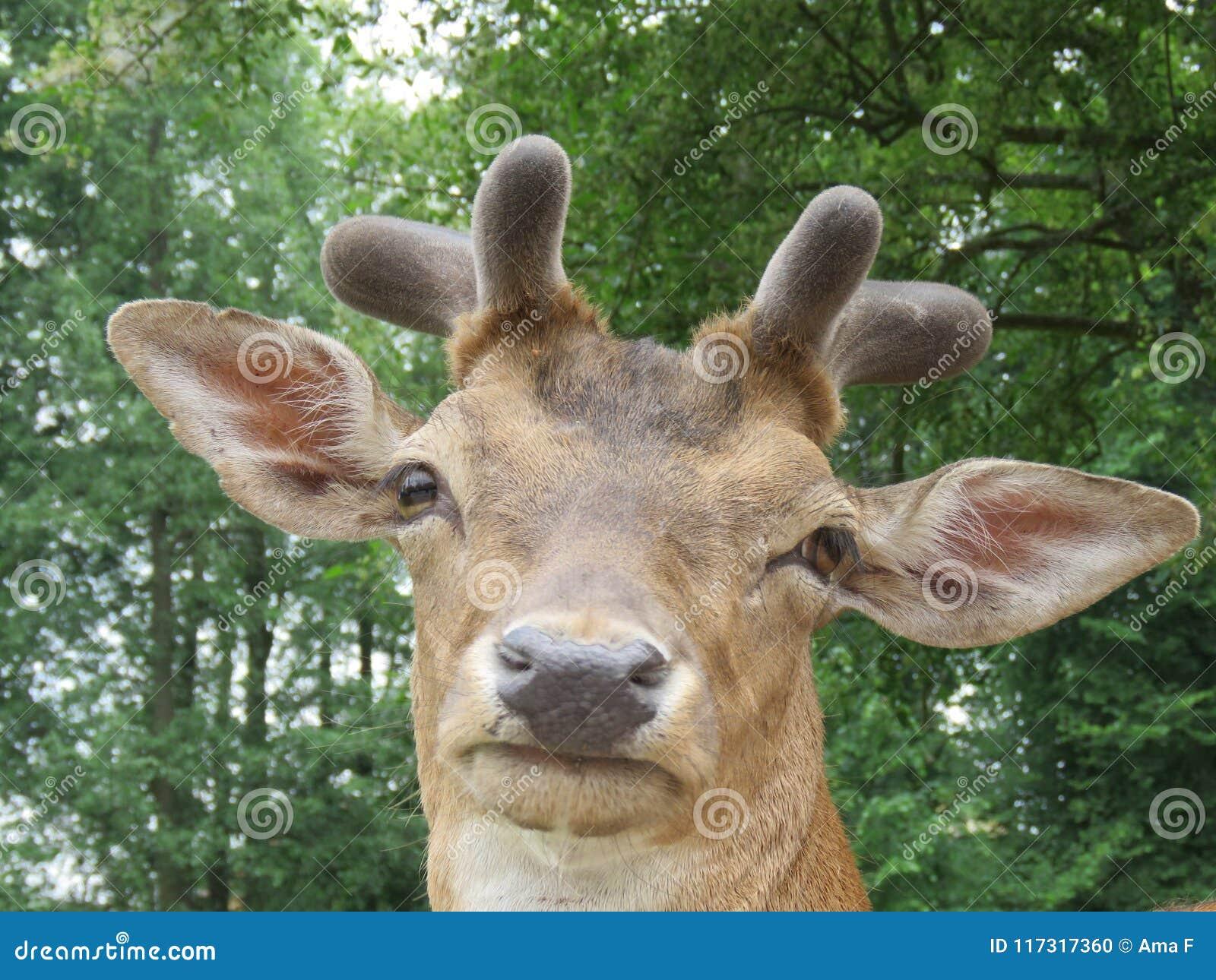 Fallow-deer Dama dama looks directly into the camera lens.
