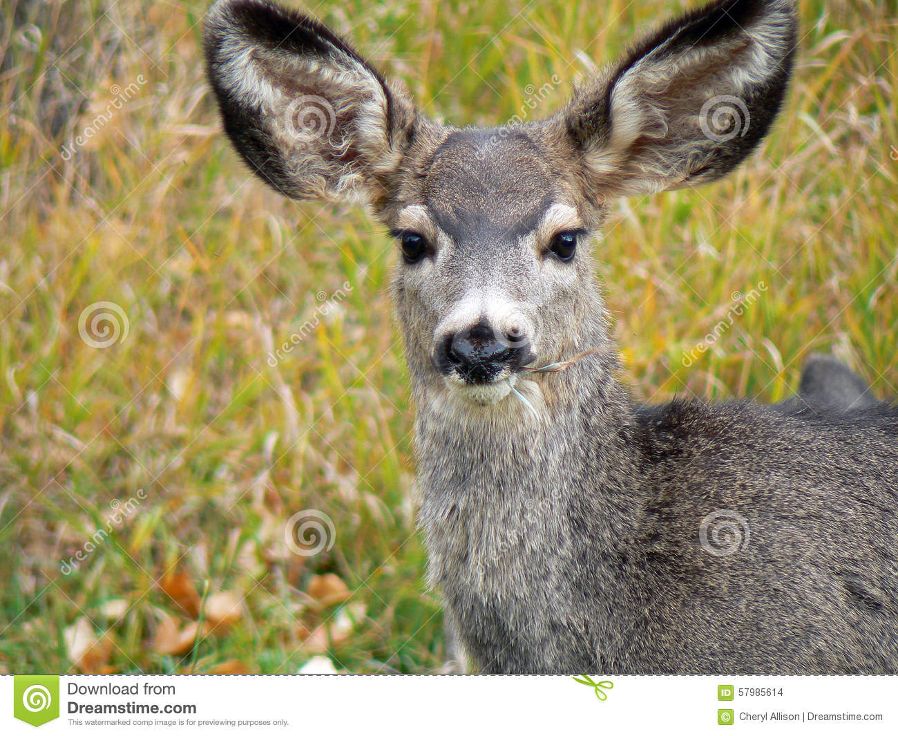 Deer With Huge Ears Stock Photo Image Of Eating Large 57985614