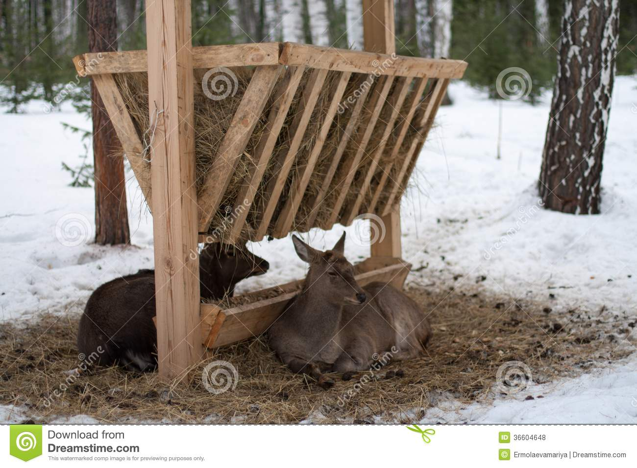 Deer And Roe Deer Lying At The Feeder Royalty Free Stock
